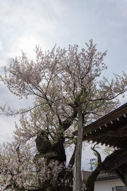 東北お花見ツアー【薬師ザクラ】2