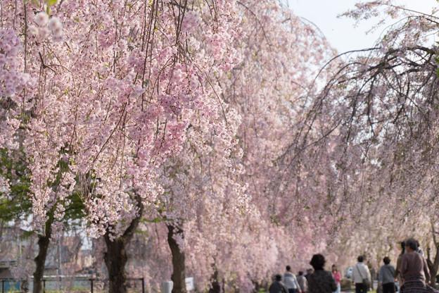 東北お花見ツアー【日中線しだれ桜並木】3