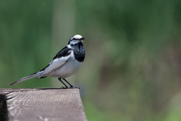 泉の森公園【野鳥:ハクセキレイ】