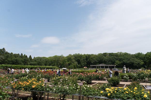 神代植物公園【バラ園の眺め】1