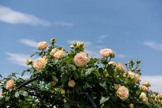 神代植物公園【バラ:エメラルド・アイル】1