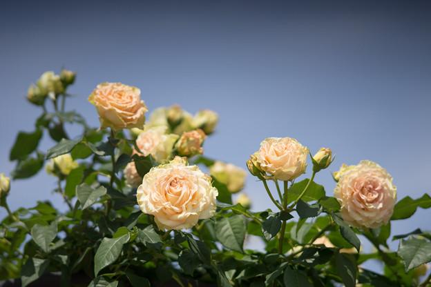 神代植物公園【バラ:エメラルド・アイル】2