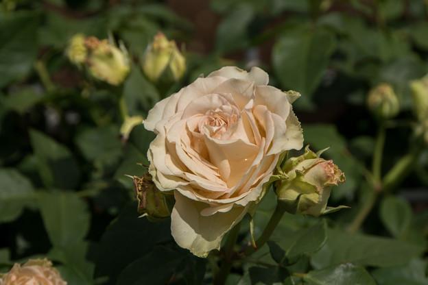 神代植物公園【バラ:エメラルド・アイル】5