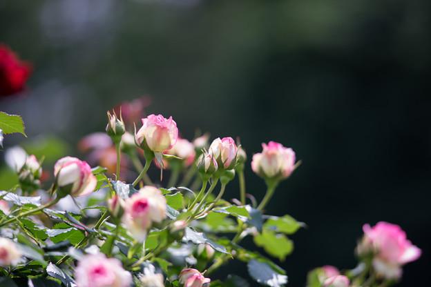 神代植物公園【バラ:ピエール・ドゥ・ロンサール】1