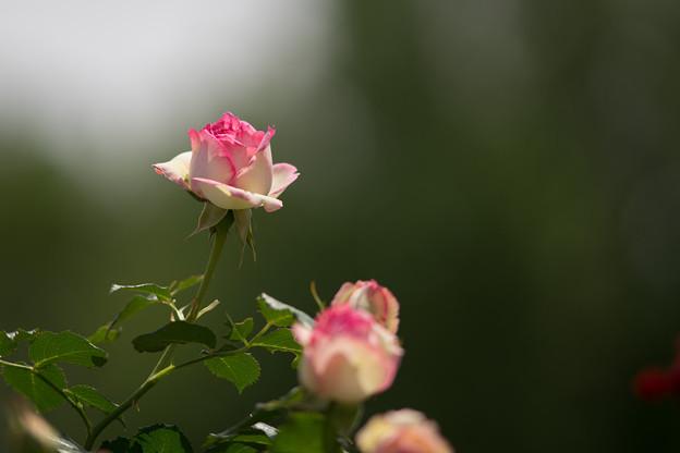 神代植物公園【バラ:ピエール・ドゥ・ロンサール】3
