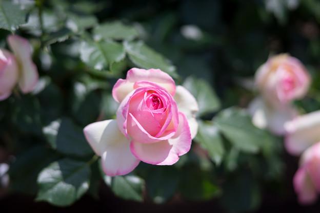 神代植物公園【バラ:ピエール・ドゥ・ロンサール】4