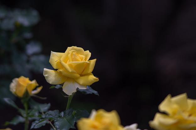 神代植物公園【バラ:フリージア】1