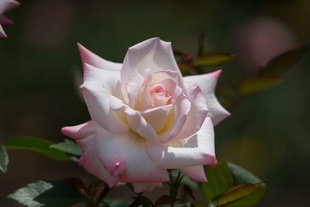 神代植物公園【バラ:夕霧】