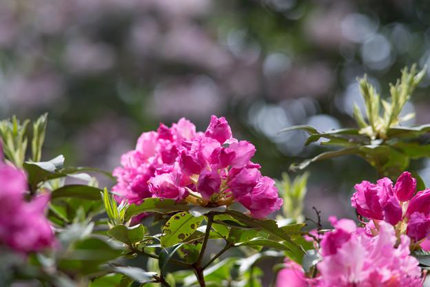 神代植物公園【石楠花:ドクター・エンズ】