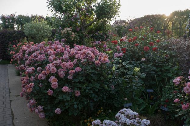 YEG【バラ園の景色】2-3