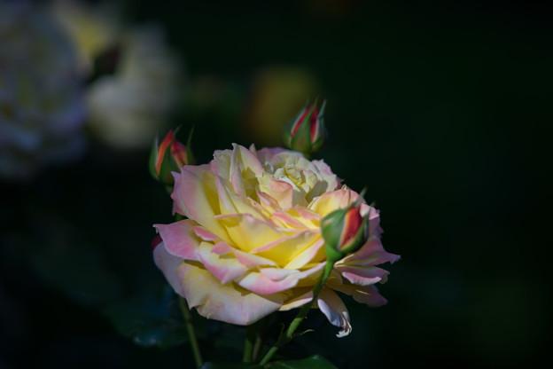 YEG【バラ:トロピカル・シャーベット】1
