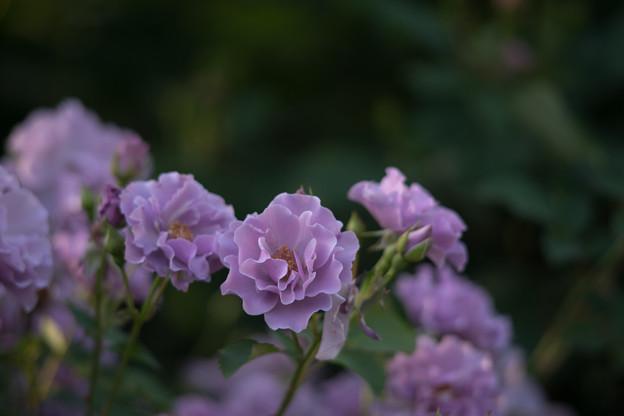 YEG【バラ:紫の園】3