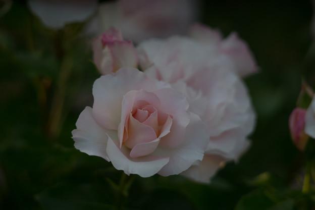 YEG【バラ:サザン・ホープ】1