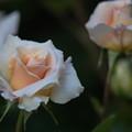 写真: YEG【バラ:ダイヤモンド・ジュピリー】