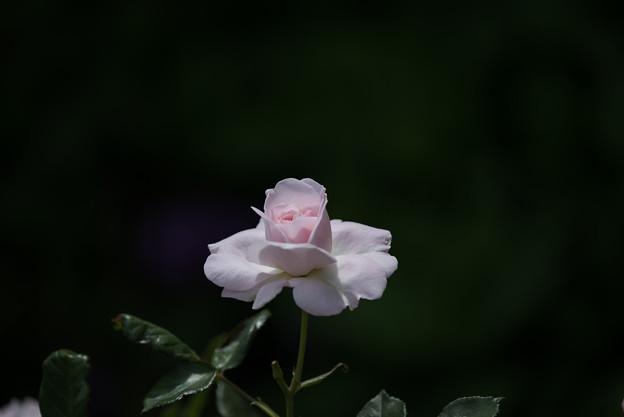 花菜ガーデン【バラ:花ぼんぼり】2