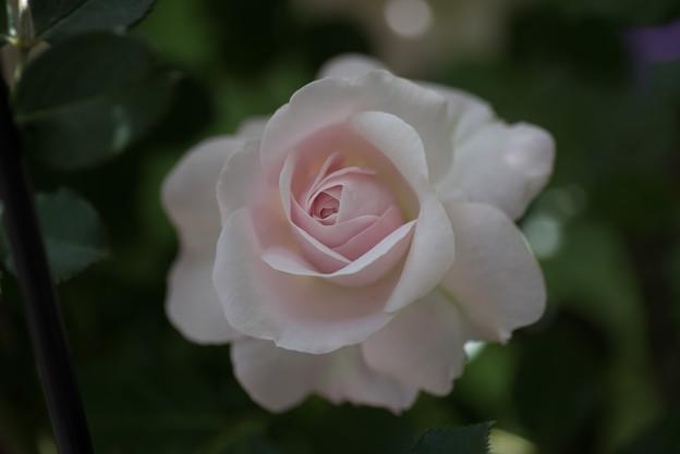 花菜ガーデン【バラ:花ぼんぼり】3