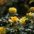 花菜ガーデン【バラ:コールド・バニー】