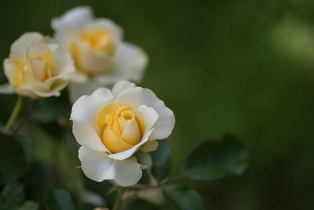 花菜ガーデン【バラ:和音】1