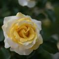 花菜ガーデン【バラ:和音】2