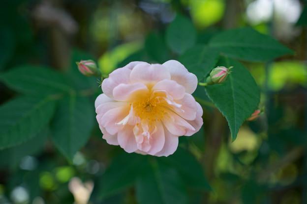 花菜ガーデン【バラ:トレジャー・トローブ】2