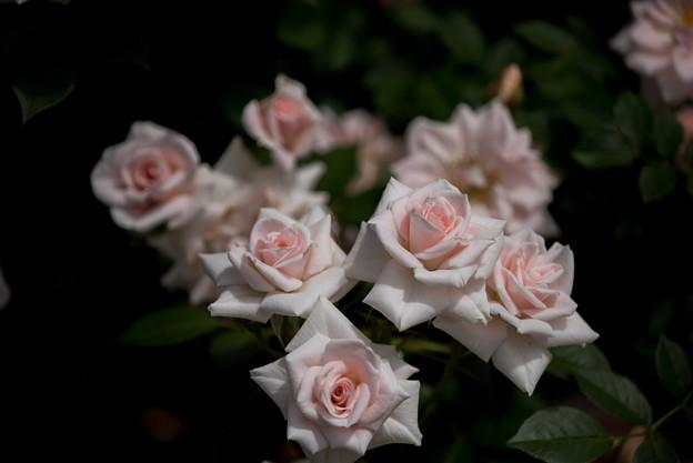 花菜ガーデン【バラ:ドリーム・ラバー】1