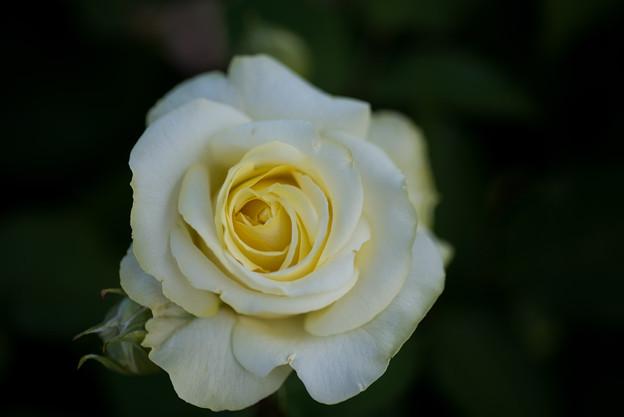 花菜ガーデン【バラ:快挙】