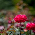 花菜ガーデン【バラ:ラブ】