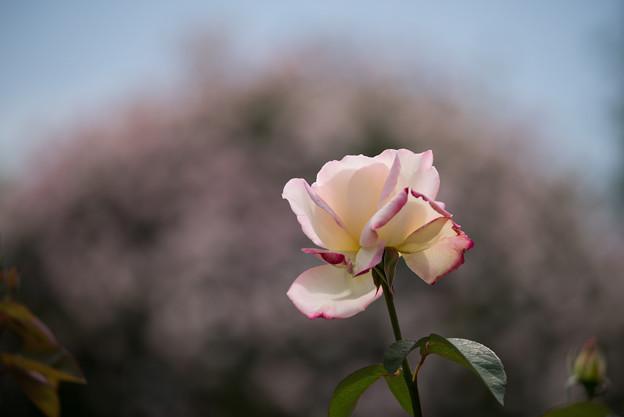 花菜ガーデン【バラ:ガーデン・パーティ】2