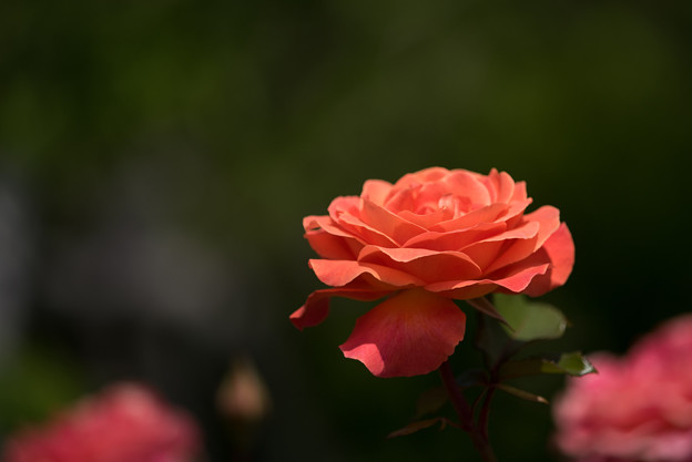 花菜ガーデン【バラ:タイフーン】