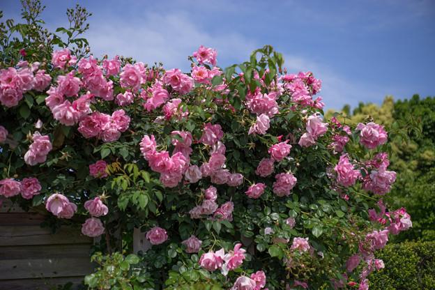 花菜ガーデン【バラ:スパニッシュ・ビューティ】