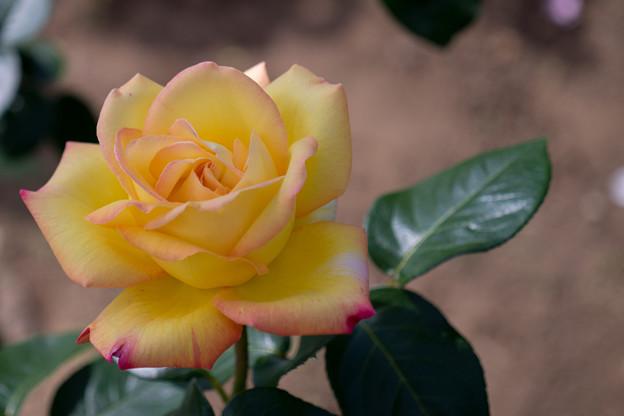 花菜ガーデン【バラ:ピース】2
