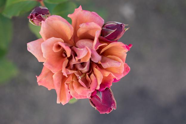 花菜ガーデン【バラ:茶々】