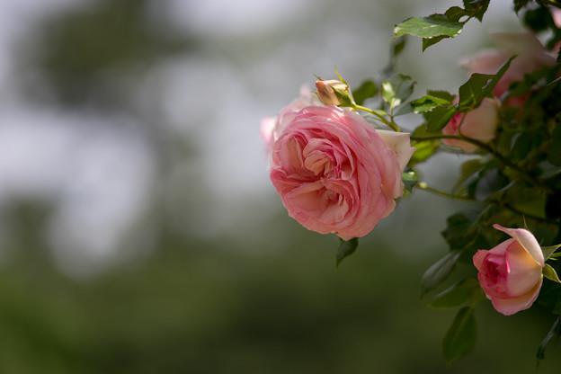 生田緑地ばら苑【バラ:ピエール・ドゥ・ロンサール】5