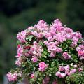 Photos: 生田緑地ばら苑【バラ:つる・ピンキー】2