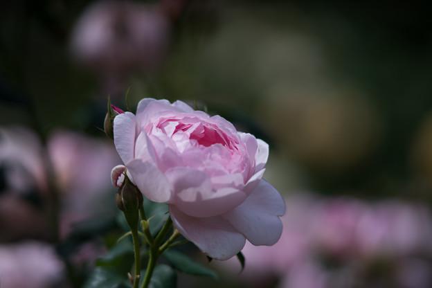 Photos: 生田緑地ばら苑【バラ:セプタード・アイル】