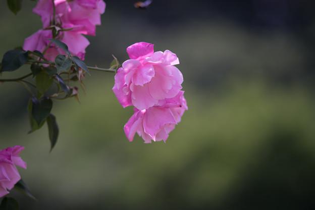 Photos: 生田緑地ばら苑【バラ:スパニッシュビューティ】
