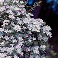 写真: 生田緑地ばら苑【バラ:のぞみ】銀塩