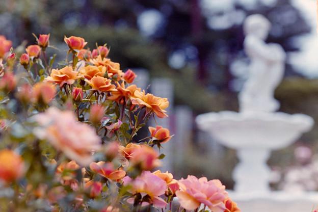 生田緑地ばら苑【バラ:サイレンス・イズ・ゴールデン】銀塩