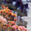 写真: 生田緑地ばら苑【バラ:サイレンス・イズ・ゴールデン】銀塩