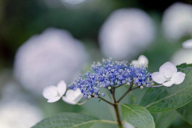 正覚寺【紫陽花】2-4銀塩