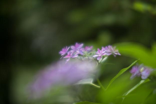 正覚寺【紫陽花】2-5
