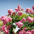 写真: 大船フラワーセンター【薔薇:ドロシー・パーキンス】2