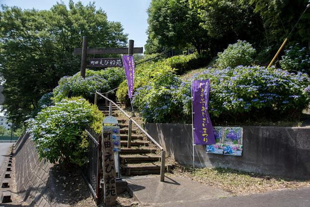 薬師池公園【えびね苑の紫陽花】1