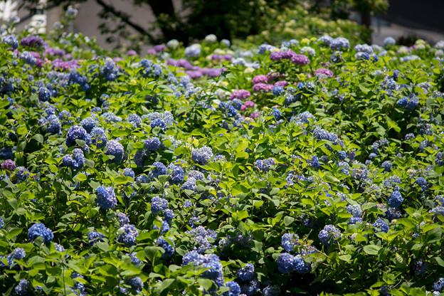 薬師池公園【えびね苑の紫陽花】3