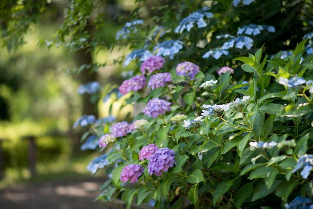薬師池公園【えびね苑の紫陽花】4