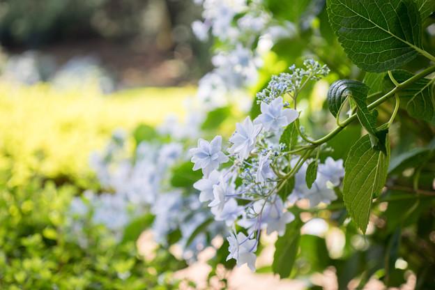 薬師池公園【紫陽花:スミダノハナビ】2