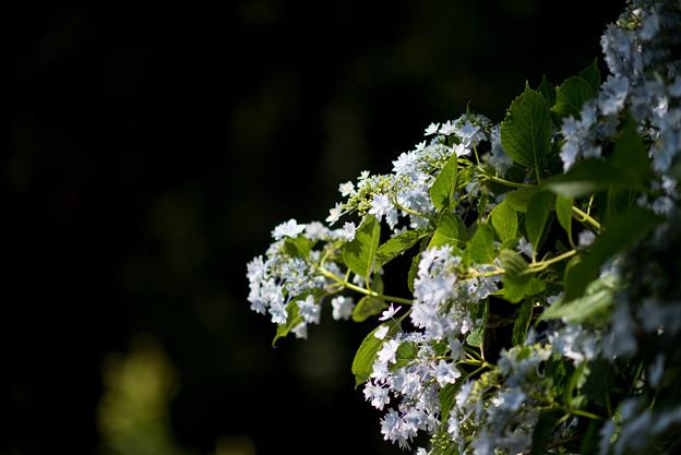 薬師池公園【紫陽花:スミダノハナビ】5