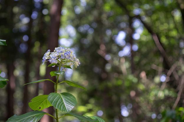 薬師池公園【紫陽花:ウズアジサイ】2
