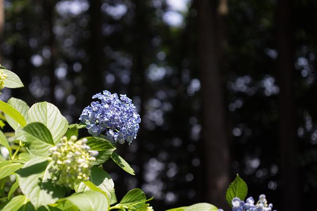 薬師池公園【紫陽花:ウズアジサイ】5