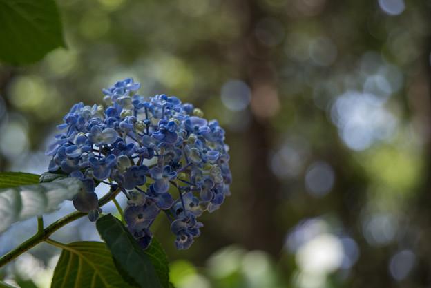 薬師池公園【紫陽花:ウズアジサイ】6